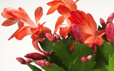 Cactus de Noël | La plante parfaite pour débutant!